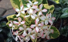 Ixora-sp.T02-albomarginata-white-flower-compact-40