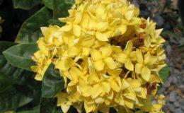 Ixora-sp.T03yellow-flower