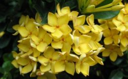 Ixora-sp.T11-yellow-flower-and-wavy-leave-dwarf-form-20