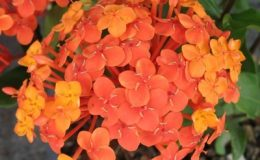 Ixora-sp.T12-orange-flower-and-long-leaf-20-