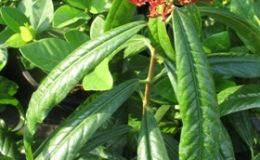 Ixora-sp.T17-red-flower-and-long-leaf-30-