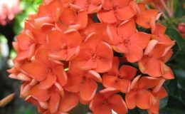 Ixora-sp.T18-orange-flower-and-wavy-leaf-20