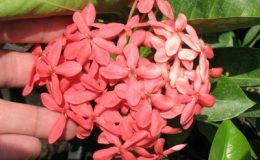Ixora-sp.T19-pink-flower-and-big-inflorescence-24-