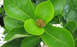 Ixora-sp.T20-white-flower-and-obtuse-leaf-apex-24-
