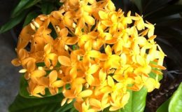 Ixora-sp.T30-yellow-flower-and-big-leaf-241