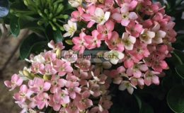 Ixora-sp.T38-Bicolor-flower-pink-and-whitewavy-leaf-1-1
