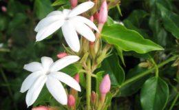 Jasminum-multiflorumred-petal-20