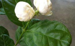 Jasminum-sambac-Mali-Chat-Japan-25