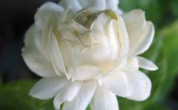 Jasminum-sambac-Mali-Sorn-Duke-of-Tuscany-12