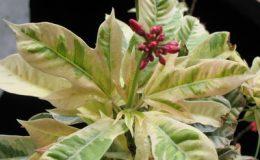 Jatropha-integerrima-variegata-38