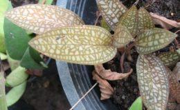 Ludisia-sp-brown-leaf1-1-