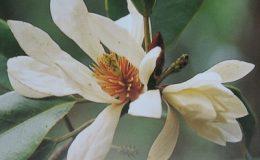 Magnolia-floribunda-44