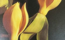 Magnolia-utilis-grafted-35