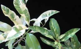Manikara-achras-yellow-variegatedсправаwhite-variegatedслева