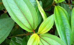 Melastoma-malabathricum-pale-purple-fl.red-veination-southern-Thailand-25