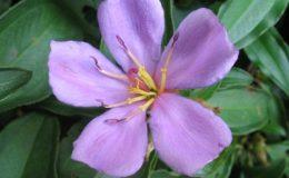 Melastoma-malabathricum-purple-flower-23