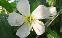 Melastoma-malabathricum-white-flower-26