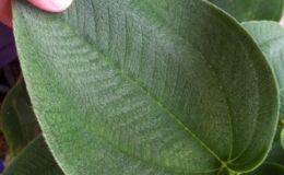Melastoma-sp.T01silver-hair-leaf-35-