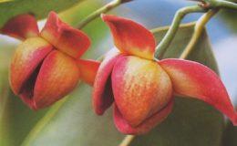 Melodorum-fruticosum-red-flower-35