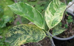 Mimusops-elengi-white-leaf-20