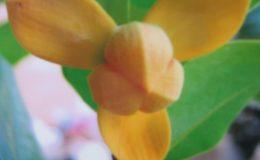 Mitrephora-keithii-yellow-flower-35