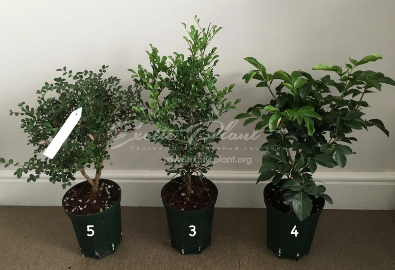 Murraya paniculata 'Min-a-min' / Муррайя паникулята Мин а мин  – сравнение разновидностей