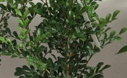 Murraya-paniculata-«Min-a-min»-dwarf-