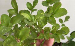 Murraya-paniculata-'Dwarf'-wavy-leaf-