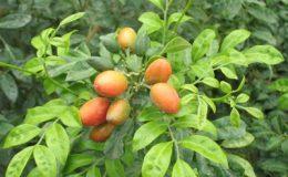 Murraya-paniculata-Dwarf-wavy-leaf-24
