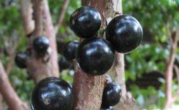 Myrciaria-cauliflora-Brazilian-Grape-tree-35