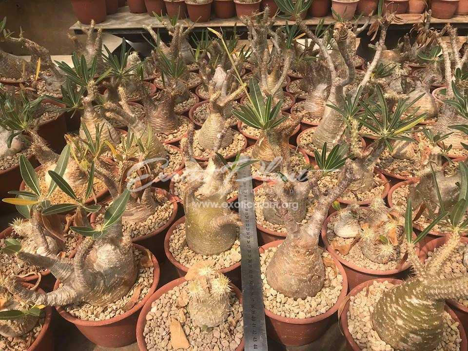 Pachypodium gracilius / пахиподиум грацилиус, изящнейший  175-220-300