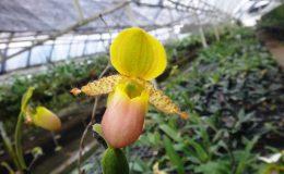 Paph.primulinum-var.purpurascens