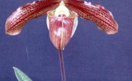 Paph.sukhakulii-x-Paph.charlesworthii