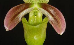 Paphiopedilum-violascens