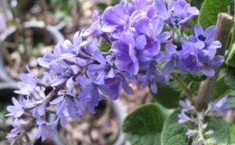 Petrea-volubilis-small-leaf-30
