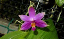 Phal-violacea-Sumatra-