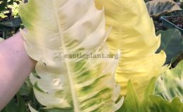 Philodendron-Moonlight-x-serratum-No.4-philodendron-Pin-Chaopaya-