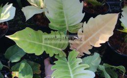 Philodendron-serratum-Orange-