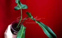 Philodendron sp (N39 ) 45