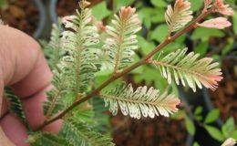 Phyllanthus-emblica-variegated-44