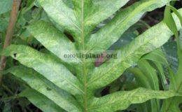 Phymatosorus-grossus-variegated-60