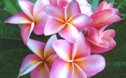 Plumeria-Pink-Diamond-750