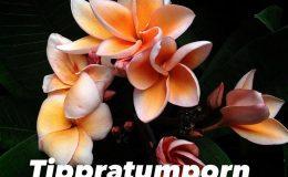 Plumeria-Thip-Pathumporn-23