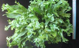 Polypodium-hybridT01Compact-form-40