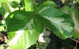 Psidium-guajava-variegata-No-1-50
