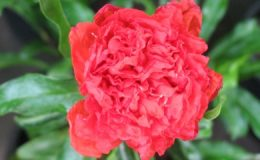 Punica-granatum-double-flower-24