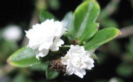 Serissa-foetidawhite-and-double-flower-20-