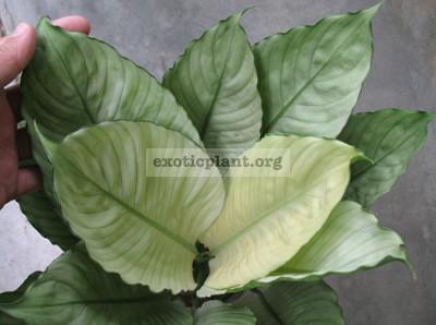 Spathiphyllum-cv-Spilt-Milk-1-1