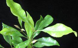 Syzygium-aromaticum-30