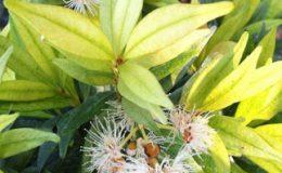 Syzygium-paniculatum-golden-leaf-45-e1451311831486-2